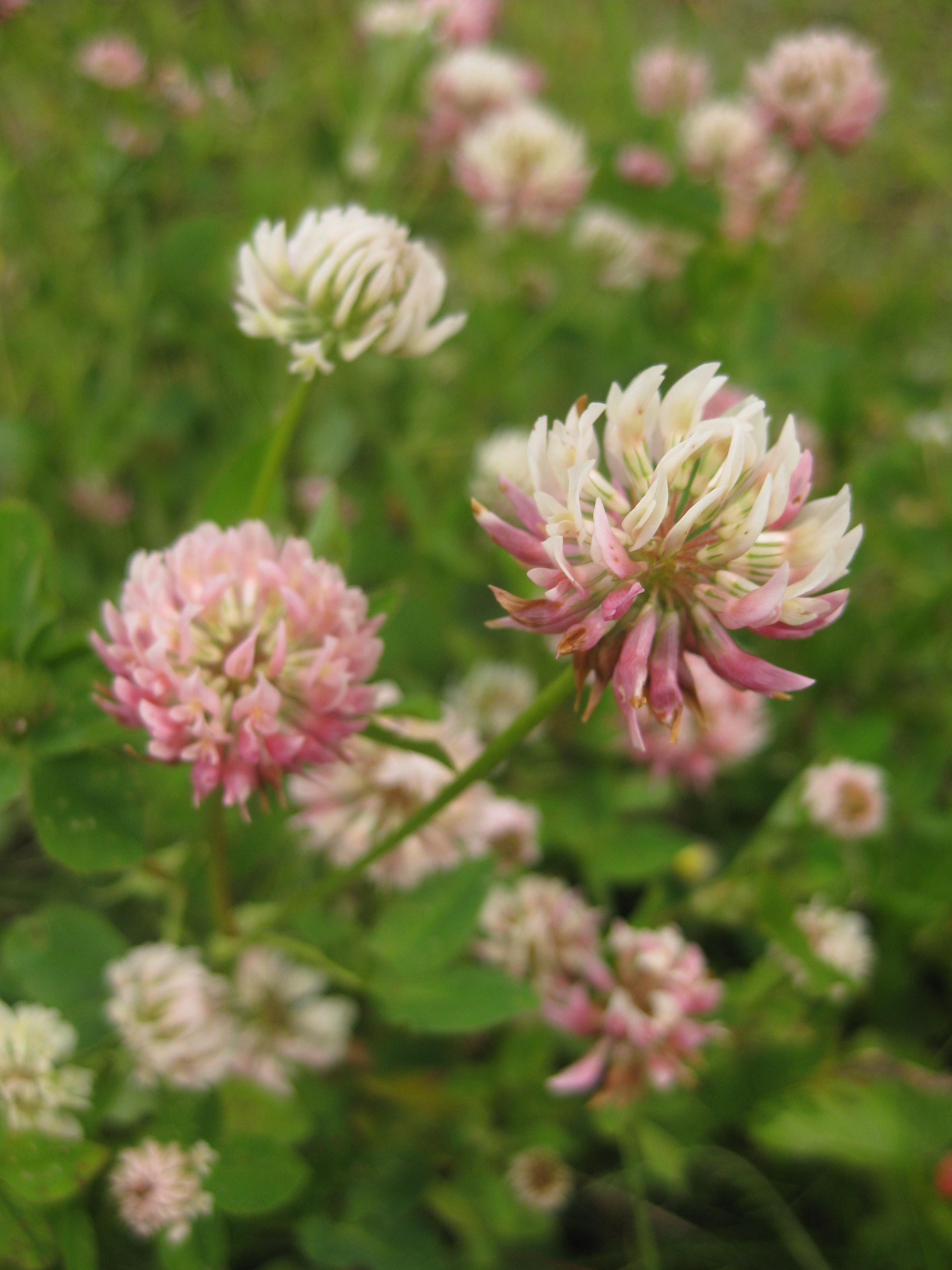 vanliga vilda blommor i sverige