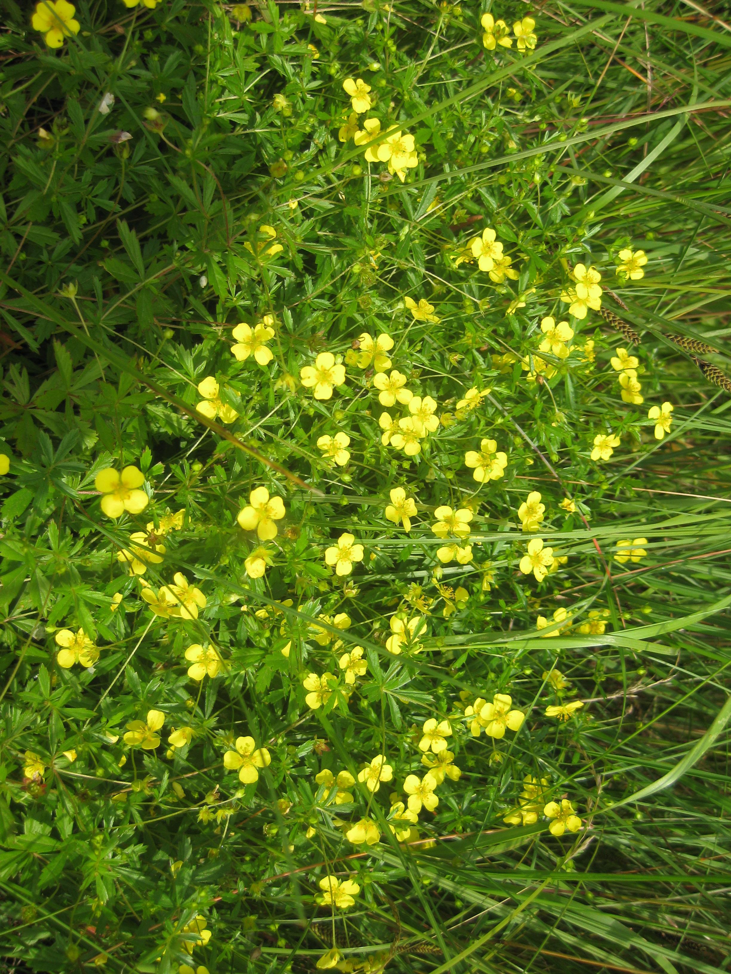 Namn på växter med gula blommor
