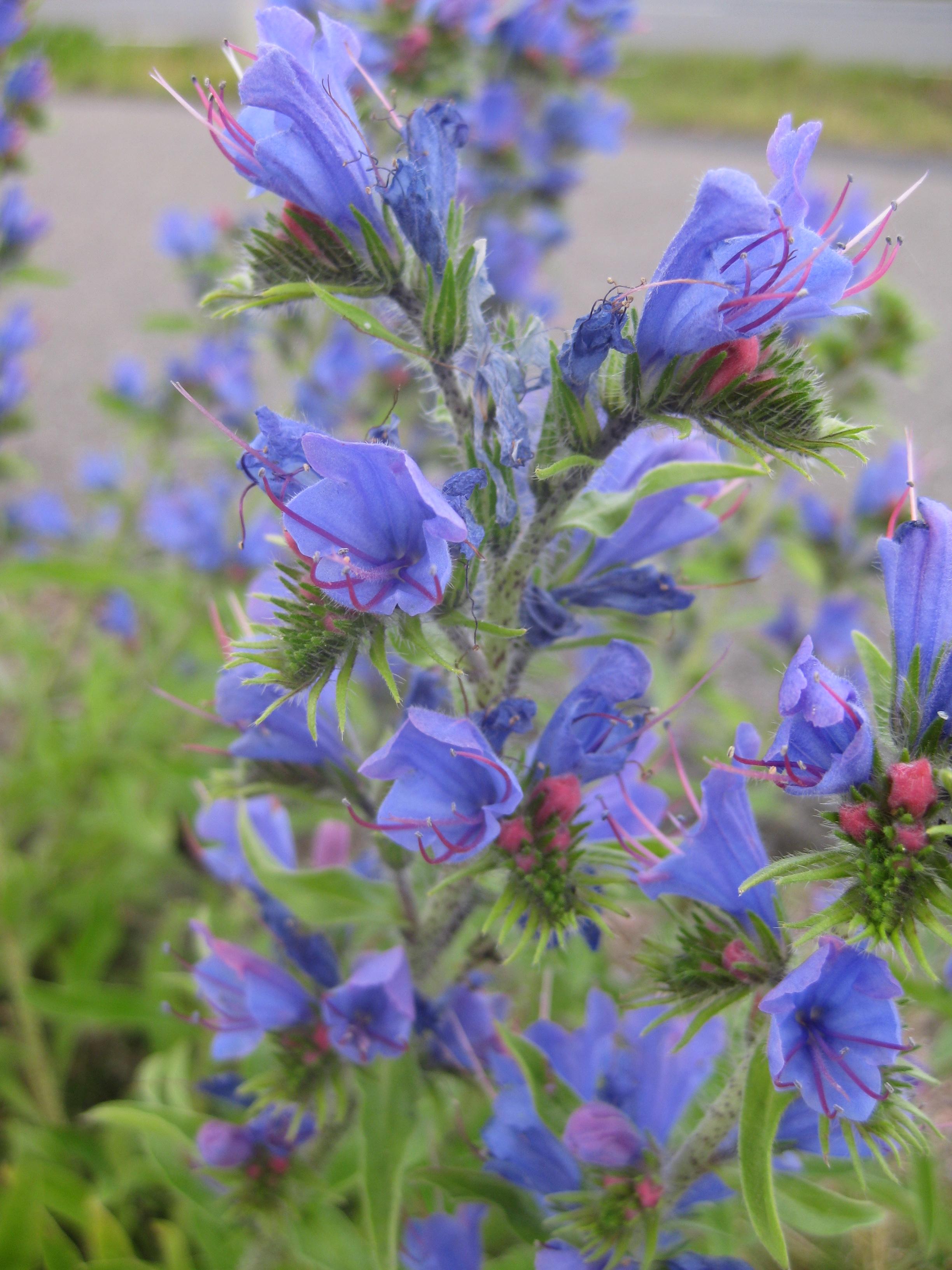 lila blommor namn