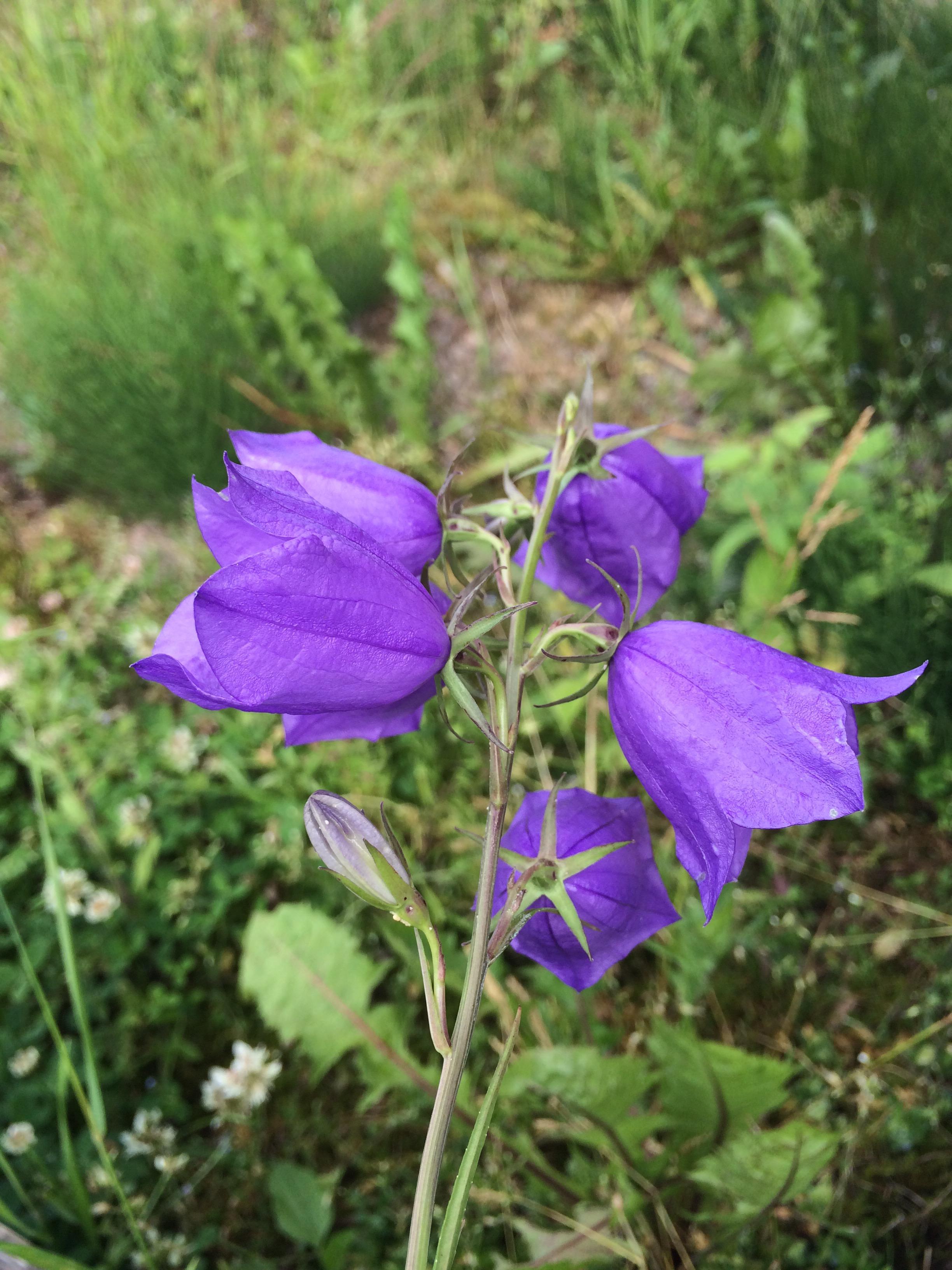 blå vilda blommor